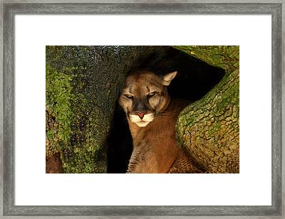 Florida Panther Framed Print by Joe Myeress