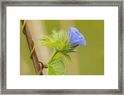 Flowering Wild Vine Framed Print by Bonnie Barry