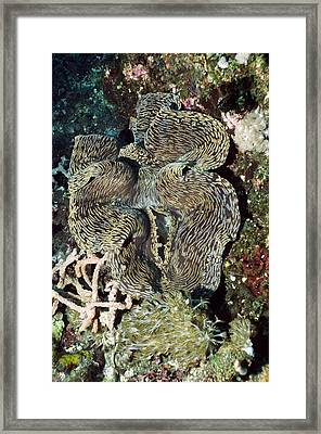 Fluted Giant Clam Framed Print by Georgette Douwma