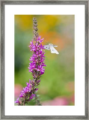 Flying Butterfly Framed Print by Melanie Viola