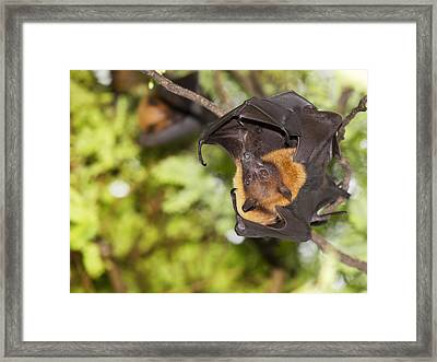 Flying Foxes Framed Print by Anek Suwannaphoom