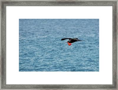 Flying Male Great Frigate Framed Print by Sami Sarkis