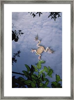 Foam Nest Tree Frog Polypedates Dennysi Framed Print by Mark Moffett