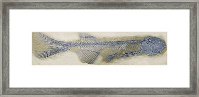 Fossil Fish, Sem Framed Print by Steve Gschmeissner