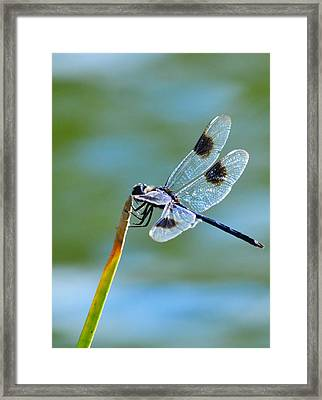 Four Spotted Pennant  Framed Print by Melanie Moraga