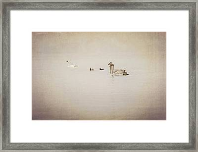 Four Swan Swimming Framed Print by Blue Mountain Images