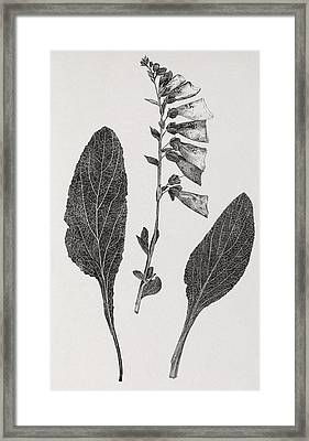 Foxglove, 19th Century Artwork Framed Print by Middle Temple Library