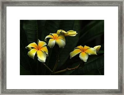 Frangipani Framed Print by James Corley