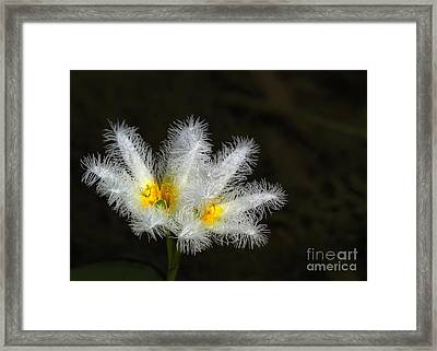 Frilly White Water Lily Framed Print by Sabrina L Ryan