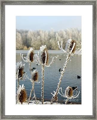 Frosty Teasel Framed Print by John Chatterley