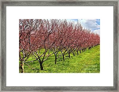 Fruit Orchard Framed Print by Elena Elisseeva