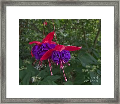 Fuchsia Flower Framed Print by Arlene Carmel