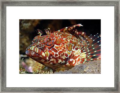 Galapagos Blenny Framed Print by Sami Sarkis