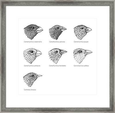 Galapagos Finches, Artwork Framed Print by Gary Hincks
