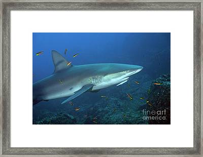 Galapagos Shark Framed Print by Sami Sarkis