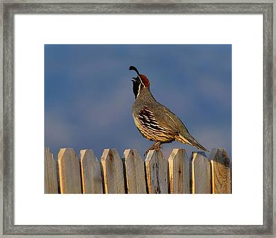 Gambel's Quail  Framed Print by Tony Beck
