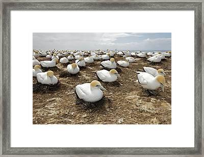 Gannet Colony Framed Print by Sven Klerkx