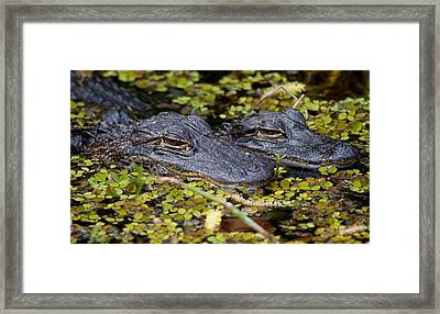 Gator Babies Framed Print by Andres Leon