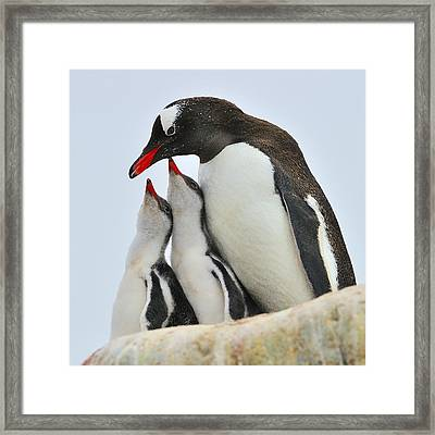 Gentoo Feeding Time Framed Print by Tony Beck