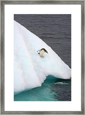 Gentoo Penguin On Iceberg, Antarctic Peninsula Framed Print by Eastcott Momatiuk
