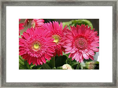 Gerbera Daisies Framed Print by Denise Pohl