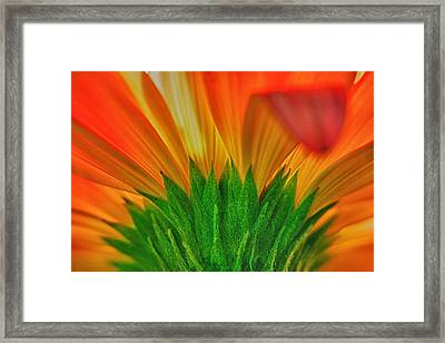 Gerbera Explosion Framed Print by Stelio Photography