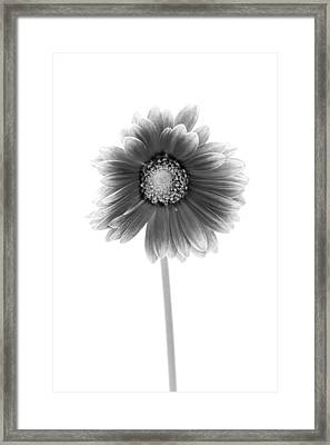 Gerbera In Black And White Framed Print by Sebastian Musial