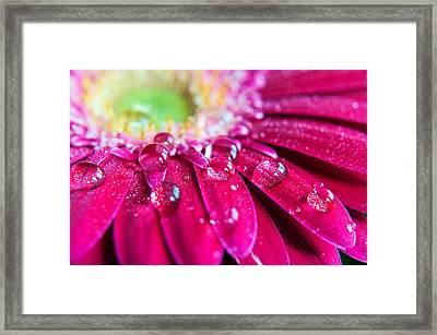 Gerbera Rain Droplets Framed Print by Michelle McMahon
