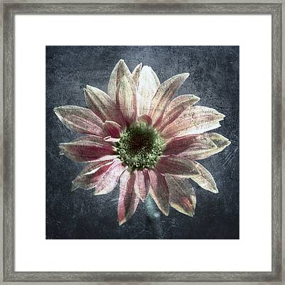Gerbera Framed Print by Stelios Kleanthous