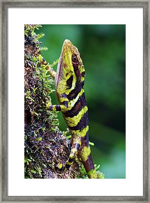Giant Anole Dactyloa Microtus Male Framed Print by James Christensen