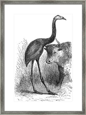 Giant Moa And Prehistoric Cow, Artwork Framed Print by