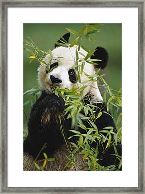 Giant Panda Eating Bamboo Framed Print by Gerry Ellis