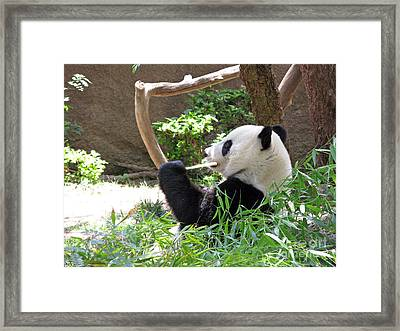 Giant Panda In San Diego Zoo 77 Framed Print by Ausra Paulauskaite