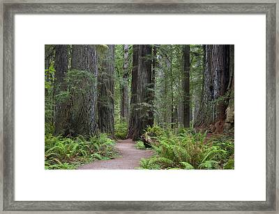 Giant Redwood Trees Along The South Framed Print by Greg Probst