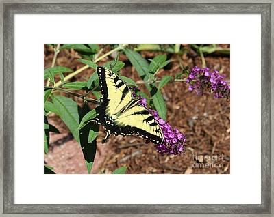 Giant Swallowtail Butterfly Framed Print by Theresa Willingham