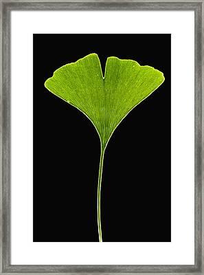 Ginkgo Leaf Framed Print by Piotr Naskrecki