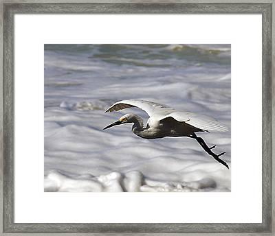 Gliding Egret Framed Print by Joe Schofield