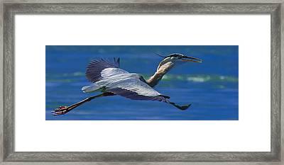 Gliding Great Blue Heron Framed Print by Sebastian Musial