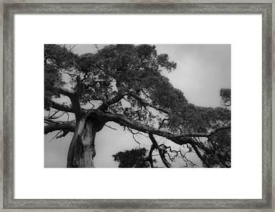 Gnarly Cedar Tree Framed Print by Teresa Mucha
