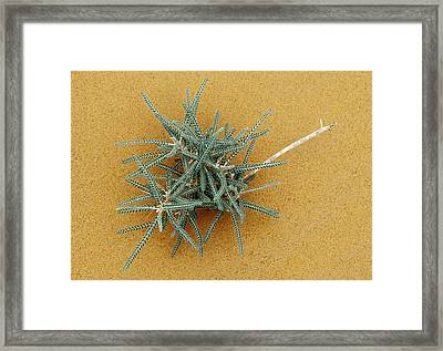 Goat's-thorn (astragalus Gombo) Framed Print by Dirk Wiersma