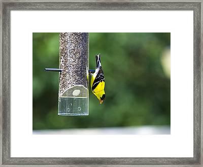 Gold Finch Framed Print by Richard Lee