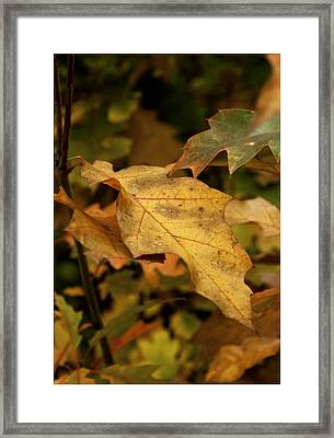 Golden Brown Framed Print by Nigel Jones