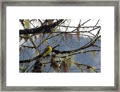 Golden-crowned Flycatcher Framed Print by Bob Gibbons