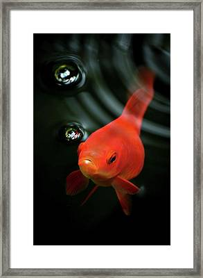 Golden Fish In Water Framed Print by JodyTroodPhotography