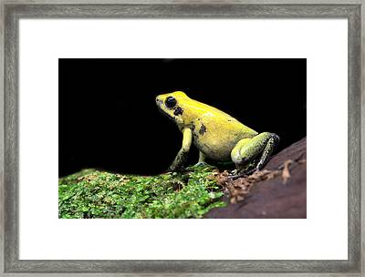 Golden Poison  Framed Print by JC Findley