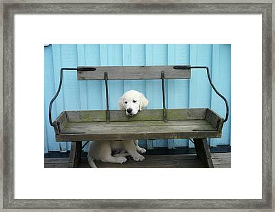 Golden Retrieven Puppy Framed Print by Mikael Törnwall
