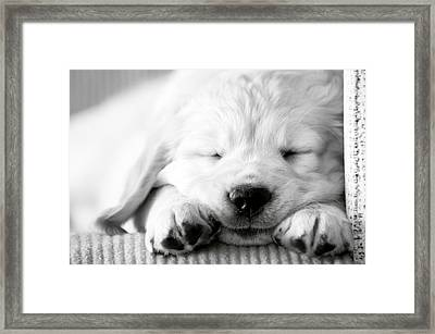 Golden Retriever Puppy Framed Print by Carmen Martínez Torrón Photography
