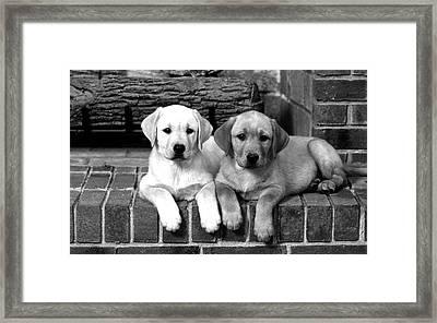 Golden Retriever Pups Framed Print by Sumit Mehndiratta