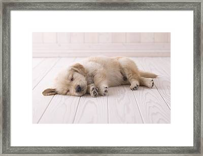Golden Retriever Sleeping On Floor Framed Print by Mixa