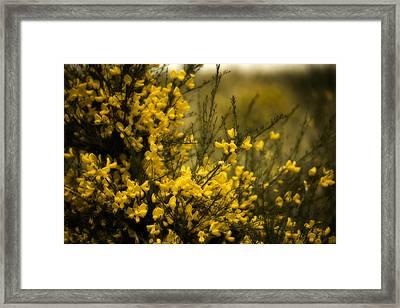 Goldenrod Framed Print by Bonnie Bruno